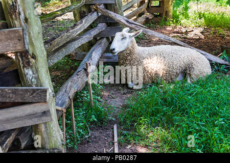 GOLDEN POND, KY, USA-30 JUNE 18: A sheep rests in the shade, at  The Homeplace,  a replica of a complete 1850ish working farm. - Stock Image