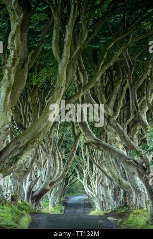 The Dark Hedges in County Antrim, Northern Ireland - Stock Image