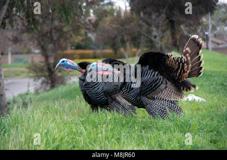 Two male turkeys call out to the female turkeys close by. - Stock Image