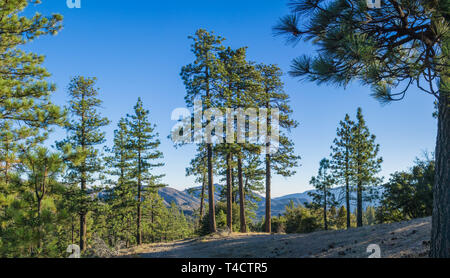 Panoramic pine trees stand in the morning sun along a ridgeline in the high mountains. - Stock Image