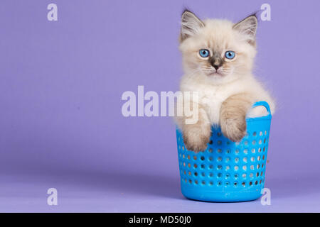 Beautiful kitten of pure bred in blue basket - Stock Image