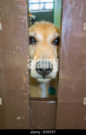 A sad looking dog peering through a gap in a garden gate. - Stock Image