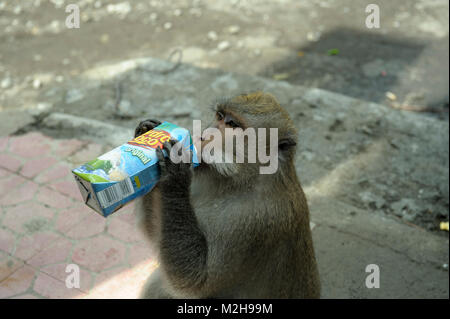 At the Sacred Monkey Forest Sanctuary, Ubud, Balinese long-tailed monkey, Macaca fascicularis, Macaque, drinking - Stock Image