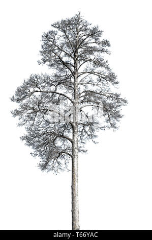 Dead alone dry death pine tree isolated on white background. Ecology concept - Stock Image
