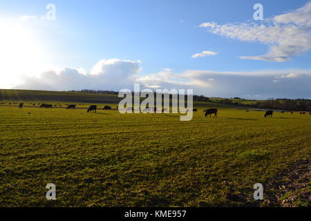 Cows grazing in a summer evening Hampshire,UK - Stock Image