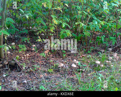 Lot of small mushrooms growing on forest roadside - Stock Image