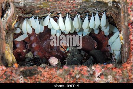 Octopus bimaculoides nest - Stock Image