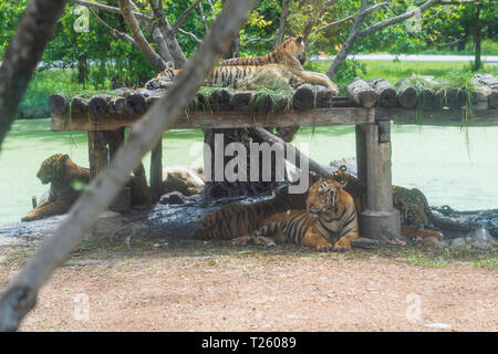 The Family tiger in the nature background. - Stock Image