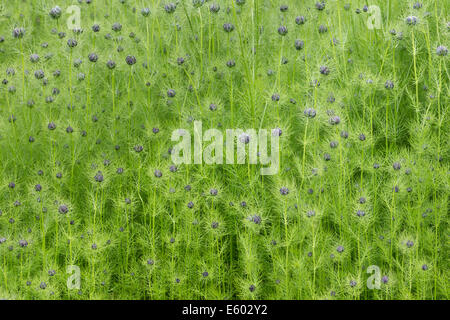 Close up of Love in a Mist buds. - Stock Image