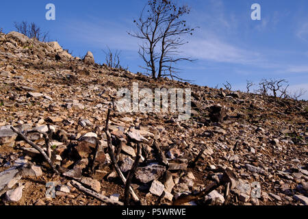 Mountain Fire damage, Pine Trees and Wild Flora burnt where before they were Green and in abundance, Saronida, Greece. - Stock Image