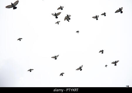 A flock of pigeons flies across the sky. Birds fly against the sky. A large group of birds of pigeons flies across the sky on white background. - Stock Image