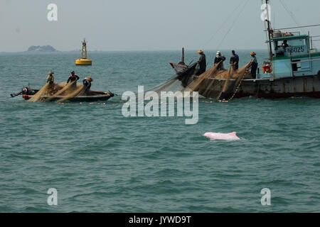 Indo-Pacific Humpback Dolphin (Sousa chinensis) trying to get some free snacks from fishermen in Hong Kong waters. - Stock Image