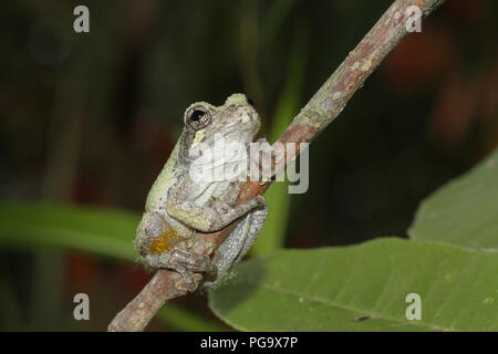 A ventral view of a gray treefrog. - Stock Image