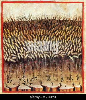 'Tacuinum Sanitatis', Wheat - Stock Image