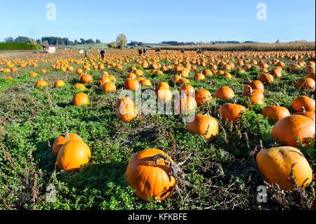 Pumkin patch is a pumkin patch field full of pumkins ready for halloween. - Stock Image
