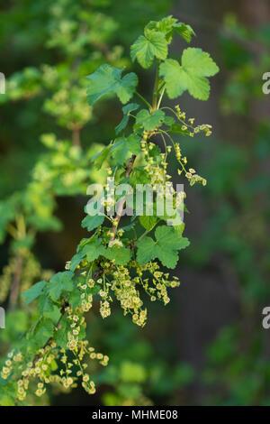flowering Red Currant (Ribes rubrum) vine - Stock Image
