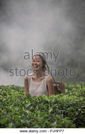 China, Yunnan, young Chinese tea gathering woman in a tea plantation - Stock Image