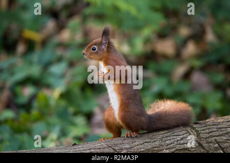 Red Squirrel  (Sciurus vulgaris) standing on back legs in the forest side on. - Stock Image