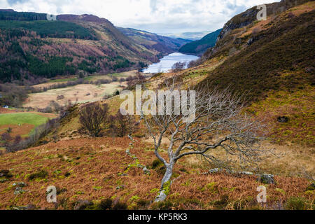 Lone tree in winter with Llyn Crafnant in valley beyond in Snowdonia National Park hills. Capel Curig, Conwy, Wales, - Stock Image