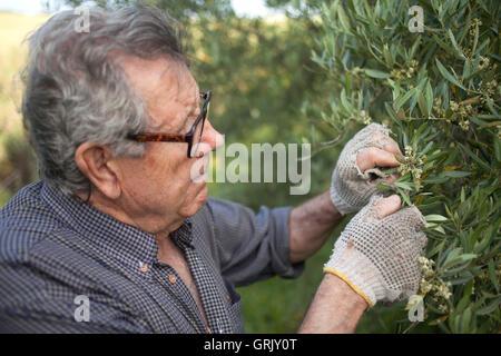Organic farmer Diego Sanchez checks the olive orchard in  his organic farm in Prado del Rey, Cadiz, Andalusia - Stock Image