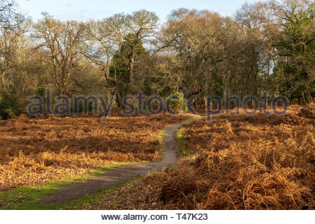 Early morning in the forests of RSPB Arne in Dorset, England - Stock Image