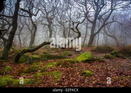 Spooky Tree, Padley Gorge - Stock Image
