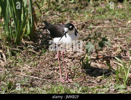 American Black-necked Stilt (Himantopus mexicanus) - Stock Image