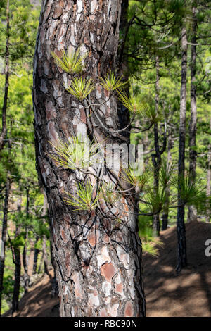 Burnt tree bark and new green regrowth following a forest fire the Canary Island Pine Tree (pinus canariensis) - Stock Image