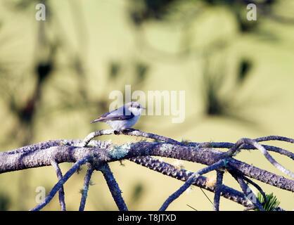 Pygmy Nuthatch - Stock Image