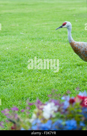 Profile of a Sandhill Crane, entering a grassy yard with garden flowers, Grus canadensis, Homer, Alaska, USA - Stock Image
