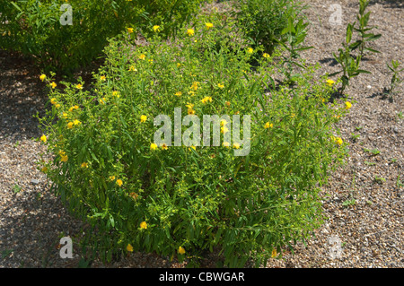 Shrubby St. Johns Wort, Cinnamon Stick (Hypericum prolificum), flowering plant. - Stock Image
