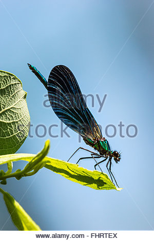 Calopteryx virgo damselfly known as the Beautiful Demoiselle (male) - Stock Image