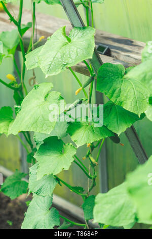 Young cucumbers in the greenhouse on the branches of the bush - Stock Image