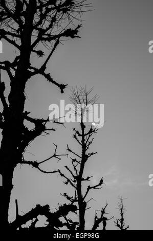 Silhouette of trees with moon behind in Tokyo - Stock Image