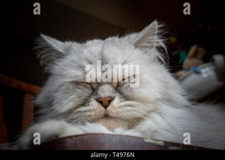 A long haired Persian cat fast asleep - Stock Image
