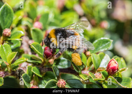 Mousehole, Cornwall, UK. 20th May 2019. Bees out in the sunshine on a cotoneastor plant on world bee day. Credit Simon Maycock / Alamy Live News. - Stock Image