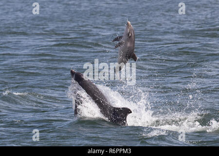 Bottlenose dolphin tossing 2 week old calf clear of the water in the Moray Firth, Scotland - Stock Image