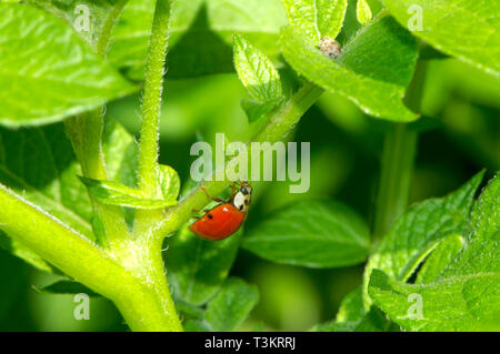 An Asian Lady Beetle (Coccinellidae) on a garden plant looking for aphids. - Stock Image