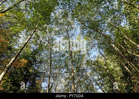 Towering mature red alder trees Alnus rubra in Pacific Spirit Regional Park, Vancouver, BC, Canada - Stock Image