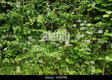 A hedgerow bottom in early Summer. - Stock Image