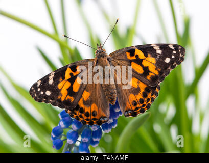 Painted lady butterfly resting on a grape hyacinth, with wings spread open - top view - Stock Image