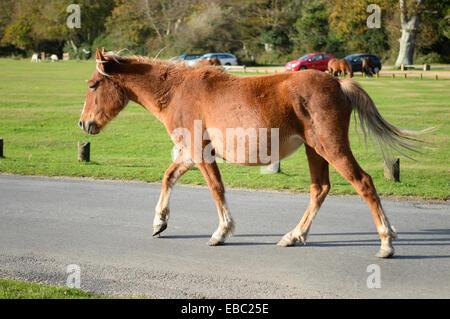 Pony, New Forest, UK - Stock Image