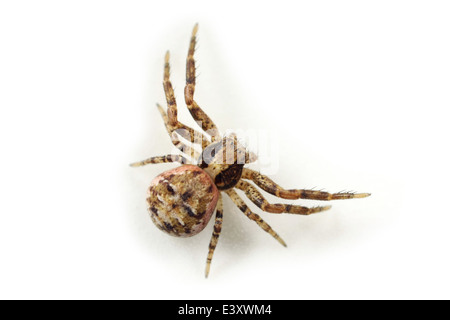 Female Xysticus audax spider, part of the family Thomisidae - Crab spiders. Isolated on white background. - Stock Image