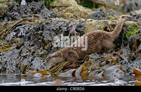 Eurasian otter (Lutra lutra) adult entering sea after a sleep ashore. Shetland Isles. June. - Stock Image