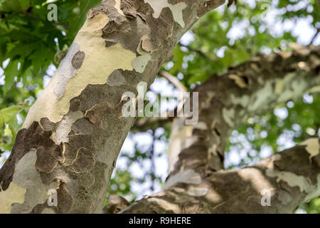 Klcyr village Albania - tree leaves against the sky - Stock Image