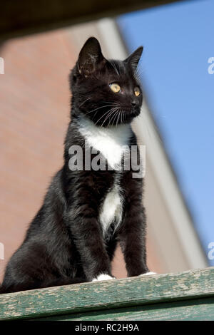 Cute black and white pet cat looking at the world from a hight altitude - Stock Image