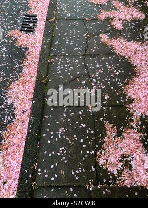 Fallen blossom on pavement - Stock Image