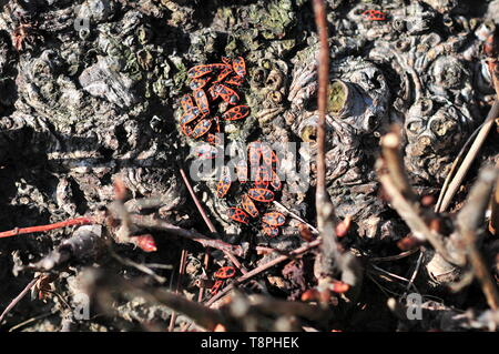 Group of the firebug (Pyrrhocoris apterus) - Stock Image