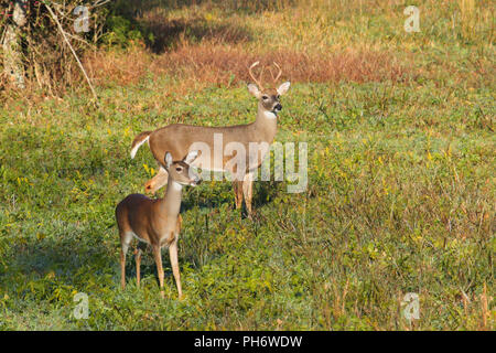 A whitetail buck and doe. - Stock Image