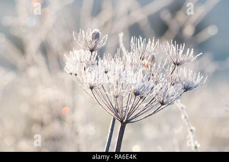 Stirlingshire, Scotland, UK - 2 January 2018: uk weather - frosted wild flower heads sparkle in the sunshine on a very cold morning in Stirlingshire, Scotland - Stock Image